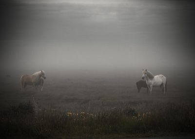 Icelandic horses in fog